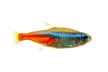 Neon tetra fish isolated white