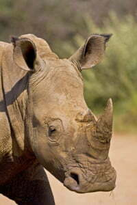 White Rhino headshot