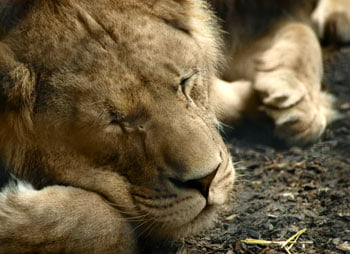 lion-sleeping